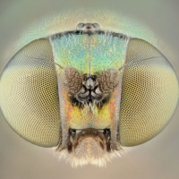 Portrait of a soldier fly.