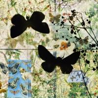 butterflies 4, 119x159 cmand 75x100 cm  ,2011